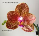 Phal. Mituo King 'Spotted Wed'.jpg