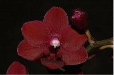Phalaenopsis King Maroon.jpg